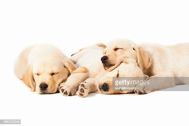 labradors sleeping over white background - young animal stock pictures, royalty-free photos & images