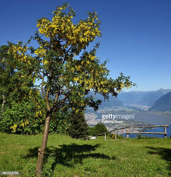 laburnum alpinum in full bloom and ascona view - ascona stock pictures, royalty-free photos & images
