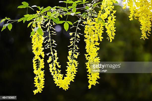 laburnum blooms against dark background