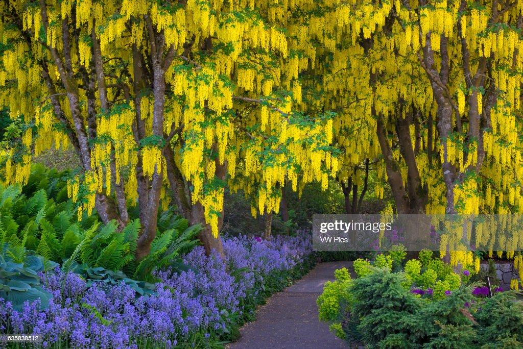 Laburnum (Golden Chain) Trees, Purple Alliums And Blue Bells In Bloom At  VanDusen