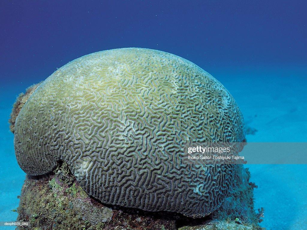 Labyrinthine Brain Coral : Stock Photo