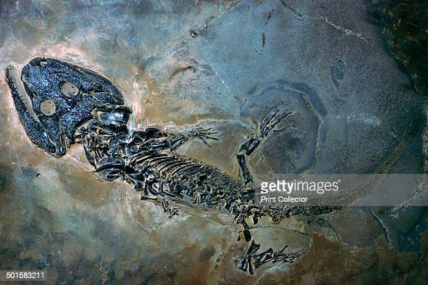 Labyrinthodontier fossil of the amphibian Actenodon Latirostris from the lower Permian