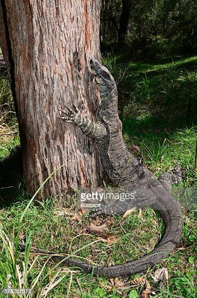 Lace monitor Varanus varius about to climb a tree Deua National Park New South Wales Australia