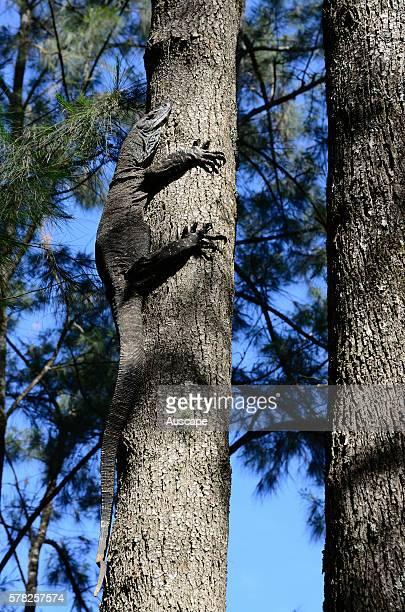 Lace monitor Varanus varius climbing a tree Deua National Park New South Wales Australia
