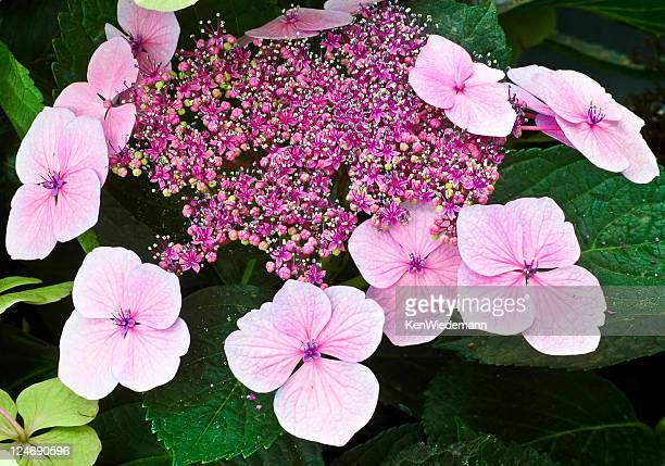 lacecap hydrangea - hydrangea stock pictures, royalty-free photos & images