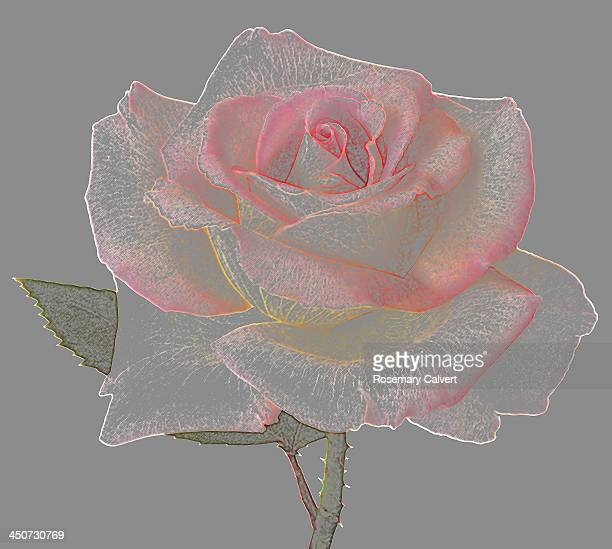 Lace-like rose resembling colour drawing.