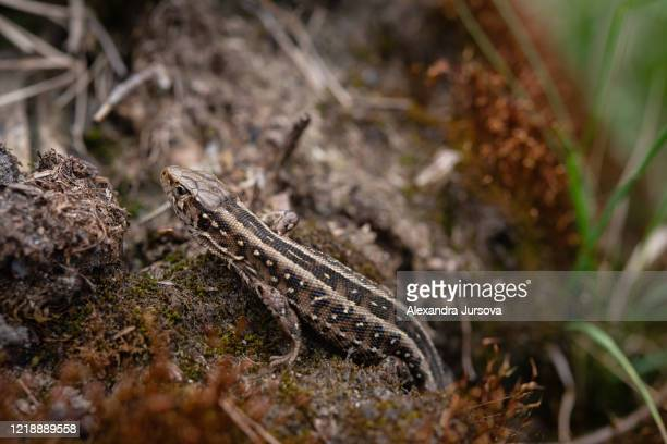 lacerta agilis - reptile leather stock pictures, royalty-free photos & images