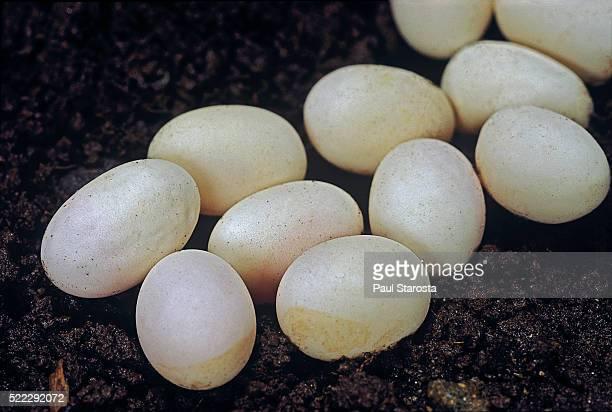 lacerta bilineata (western green lizard) - eggs - réptil - fotografias e filmes do acervo
