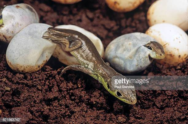 Lacerta bilineata (western green lizard) - hatching