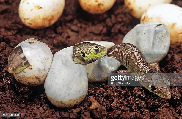 lacerta bilineata (western green lizard) - hatching - hatching stock photos and pictures