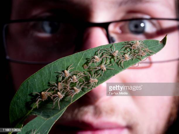 Lachlan Manning spider keeper at Taronga Zoo in Sydney inspects weekold golden huntsman spiderlings 29 July 2019 After hatching from their eggs the...