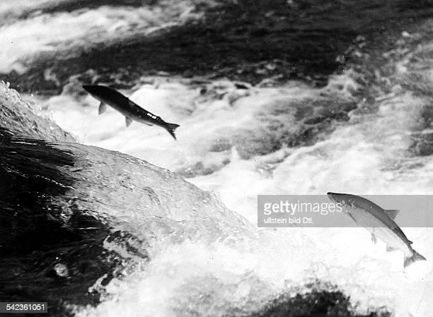 Lachse beim Sprung aufwärts hier an den'Brooks Falls' in Alaska