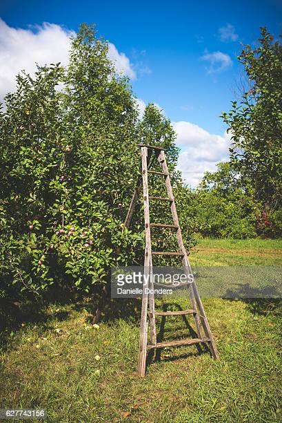 Ladder beside an apple tree in an orchard