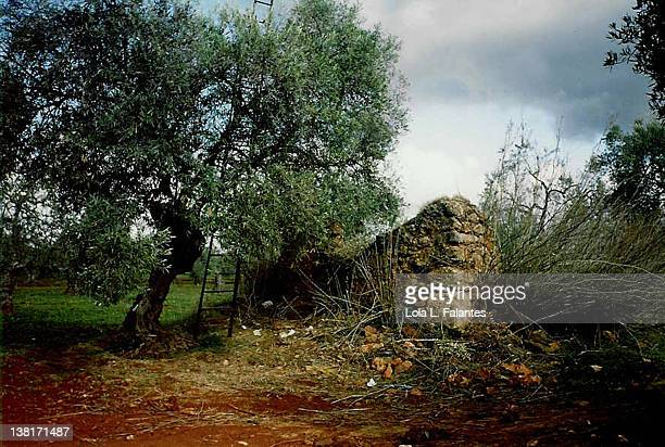 Ladder in Olive tree