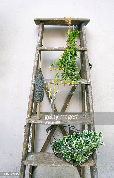 Ladder with wire, pruner, ground elder and common buttercup
