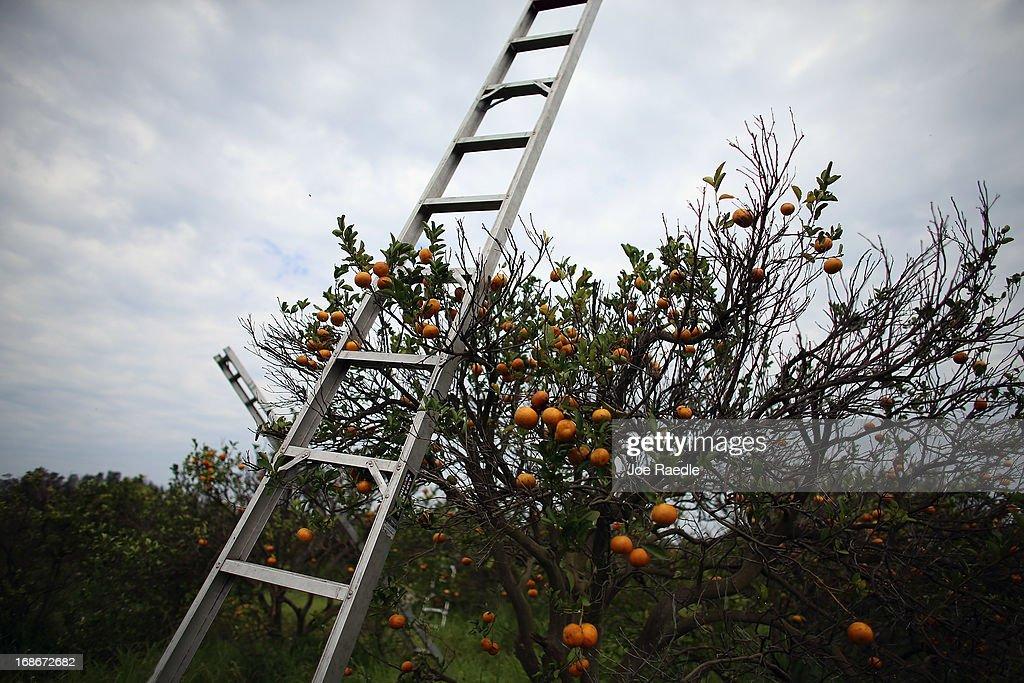 Citrus Greening Diseases Threatens Florida's Orange Industry : News Photo