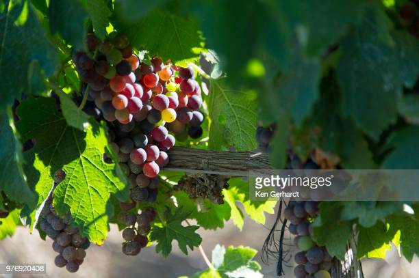 laden bunches on groot constantia vines, cape town. rsa - constantia stock pictures, royalty-free photos & images