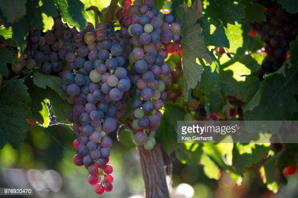 laden bunches on groot constantia vines, cape town. rsa - fruit laden trees stock pictures, royalty-free photos & images