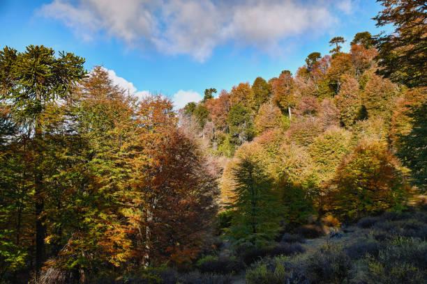 Laderas cubiertas de bosque otoñal - Parque Nacional Malalcahuello-Nalcas