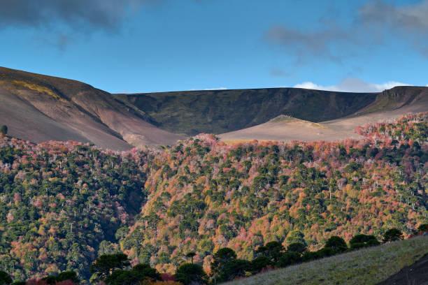 Laderas cubiertas de bosque otoñal y Araucarias - Parque Nacional Malalcahuello-Nalcas