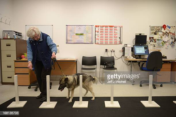Lady a Norwegian Elkhound has some physio therapy at the small animal hospital at the School of Veterinary Medicine at the University of Glasgow on...