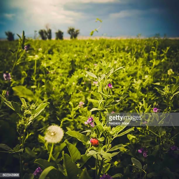Lady Bug in a Field of Alfalfa