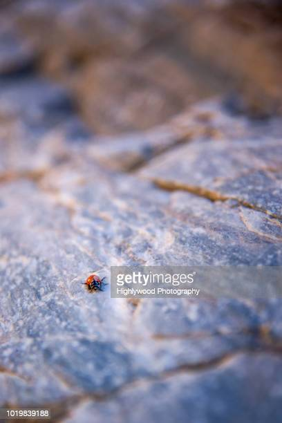 lady bug in death valley - highlywood - fotografias e filmes do acervo