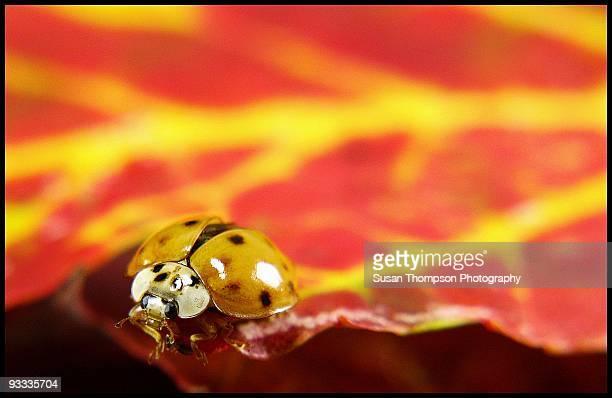 lady bug, lady bug fly away home - チャタム ストックフォトと画像
