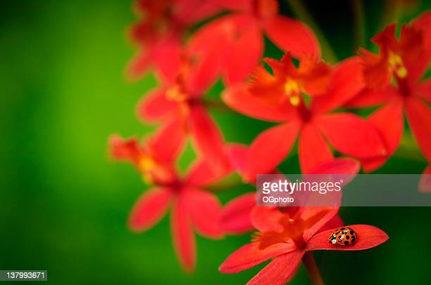 lady bug on a red orchid - ogphoto stock photos and pictures