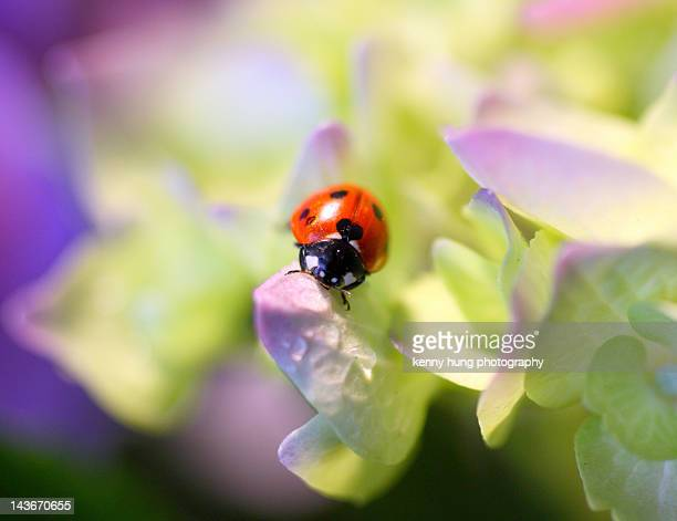 lady bug - alhambra city of los angeles stock photos and pictures