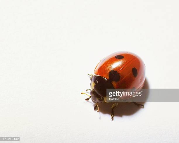lady bug - beetles with pincers stock pictures, royalty-free photos & images