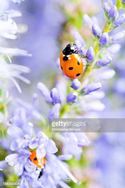 lady bugs sur blue veronica - sainte veronique photos et images de collection