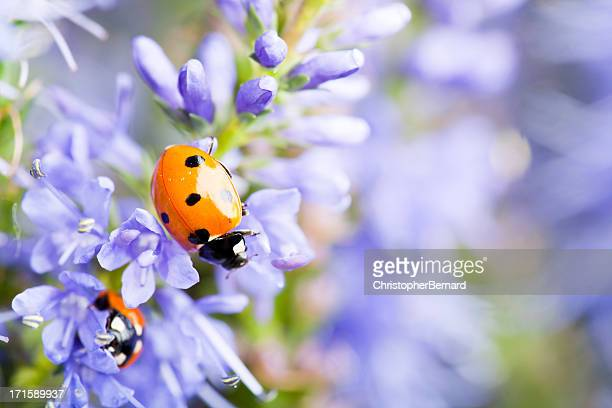 lady bugs on blue veronica - ladybug stock pictures, royalty-free photos & images