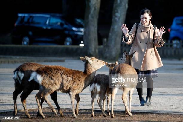 A lady feeds deer at Nara Park of Nara prefecture on February 18 2018 in Osaka Japan Many Chinese tourists choose to travel overseas during the...
