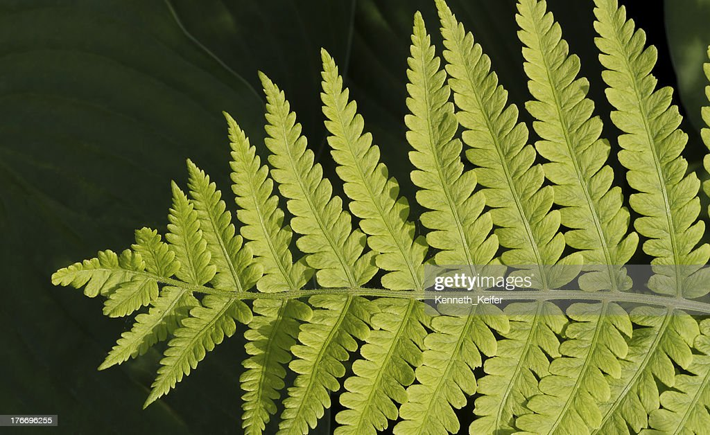 Lady Fern Frond : Stock Photo