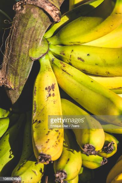 Lady Finger Bananas in a Bunch