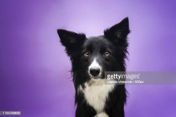 lady in purple - collie stock photos and pictures