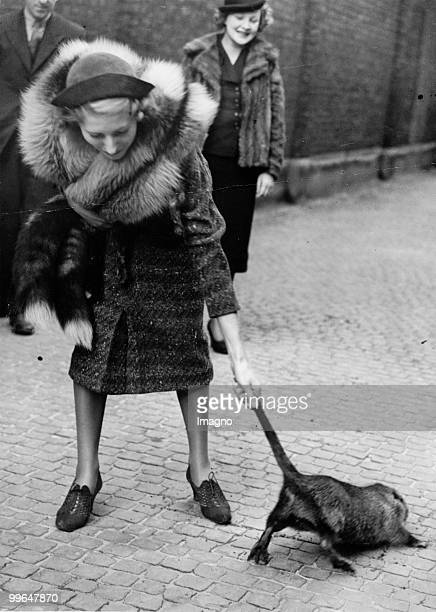 A Lady is pulling the tail of a nutria in order to prove its durability at an exhibition of British fur farmers in London 23 11 1938 Photo by...