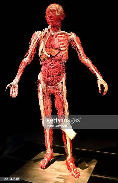 Lady Of Arteries And Bones Part The Of Body Worlds The Mirror Of Time Exhibition At The O2 Arena In London This Shows The Vascular System Of The...