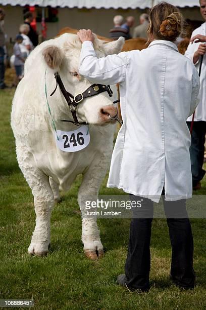 Lady pets show winning cow