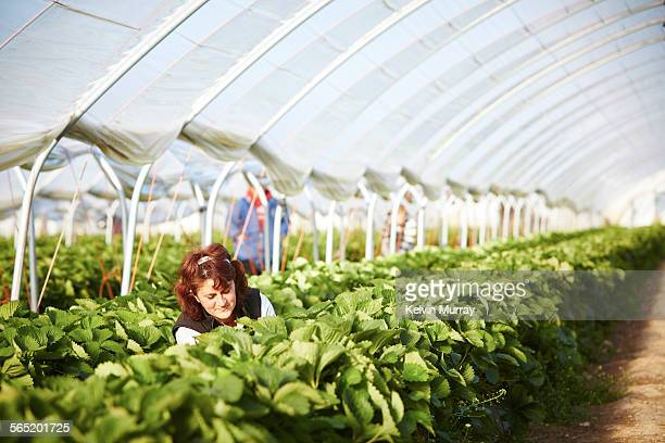 Lady picks strawberries in poly tunnel.