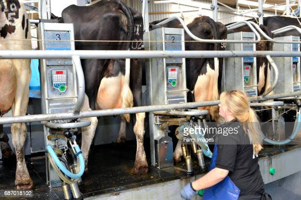 Lady stocksperson putting cluster units on dairy cattle in a rotary parlour