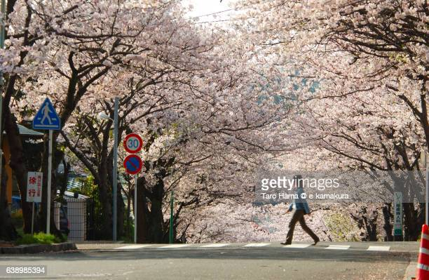A lady walking under cherry blossom in Kamakura