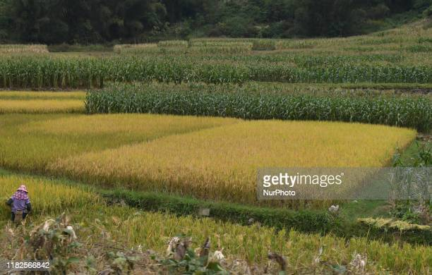 A lady works in rice field On Friday October 18 in Qinzhou Guangxi Region China