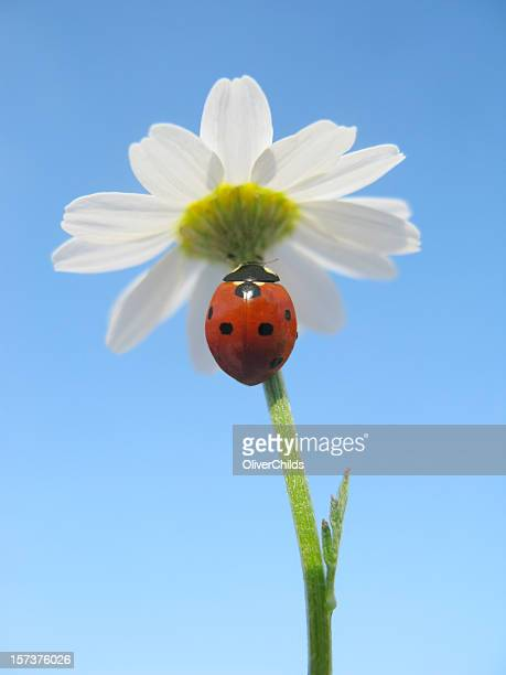 ladybird at rest on a daisy. - seven spot ladybird stock pictures, royalty-free photos & images