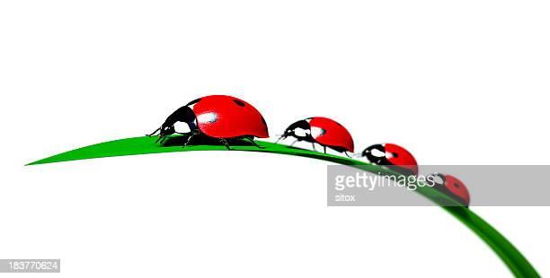 Besouro de Joaninha família em uma Folha lanceolada de relva