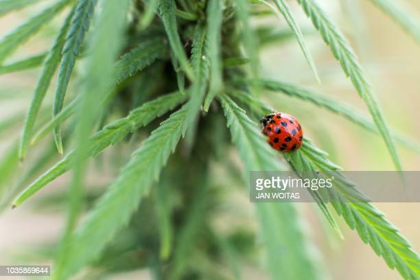A ladybird beetle sits on a cannabis plant growing in a cannabis field in Naundorf eastern Germany on September 19 2018 The Mariplant company a...