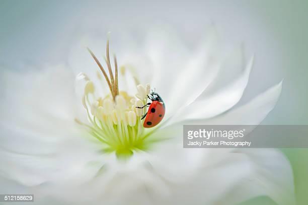 Ladybird climbing on a white Hellebore Flower