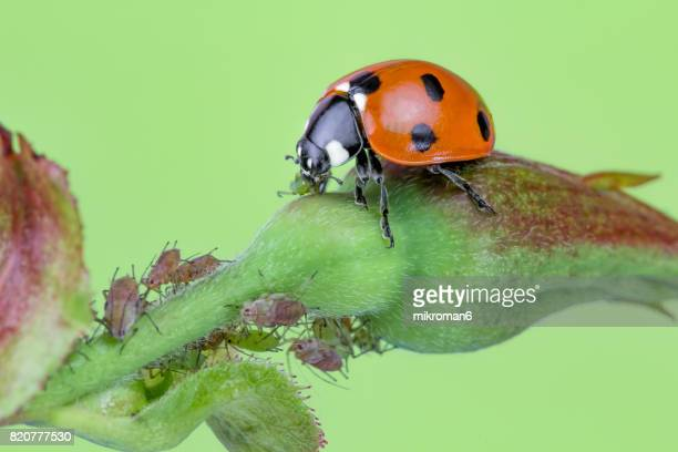 ladybird eating aphids - ladybug stock pictures, royalty-free photos & images