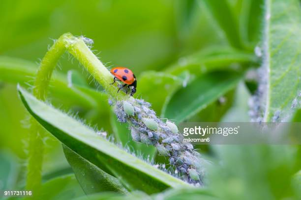 ladybird eating aphids - aphid stock pictures, royalty-free photos & images